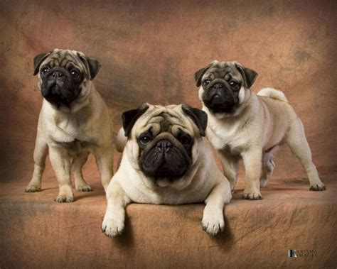 pug toys for pugs search engine at search