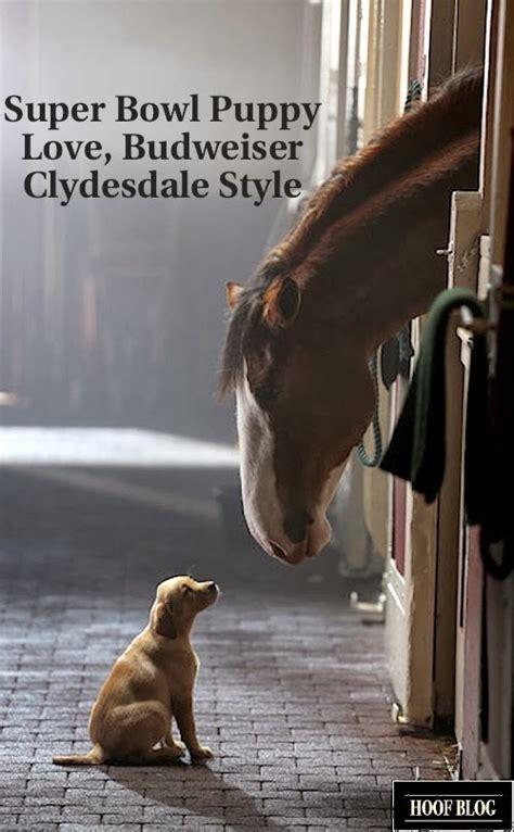 budweiser puppy commercial 2013 fran jurga s hoof news from hoofcare lameness budweiser clydesdales 2014