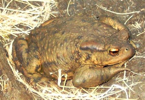 True toad - Wikipedia