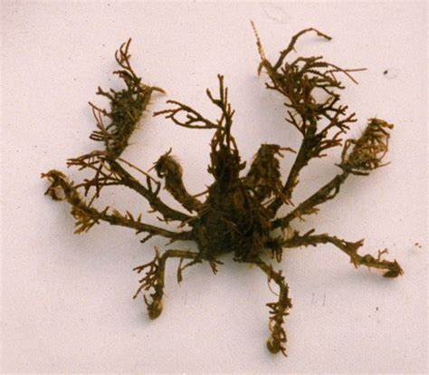 Graceful Decorator Crab by Oregonia Gracilis