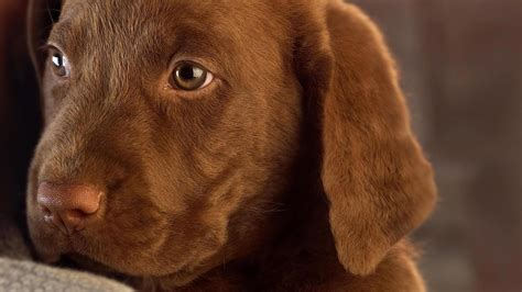 brown puppies brown labrador puppy wallpaper 9953