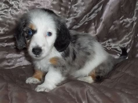 white dachshund puppies dapple l h miniature dachshund puppy spilsby lincolnshire pets4homes