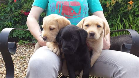 all about puppies brandon 3 labrador puppies all 3 sold brandon suffolk pets4homes