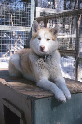 give  siberian husky  haircut pets