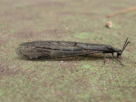 doodlebug insect wiki antlion lacewing glenoleon falsus