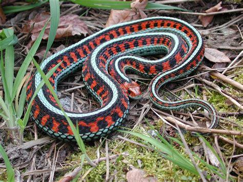 Garter Snake Eastern Garter Snake Sided Garter Snake And Butler S
