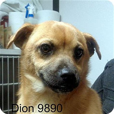 pugs vermont brattleboro vt pug feist mix meet dion a for adoption