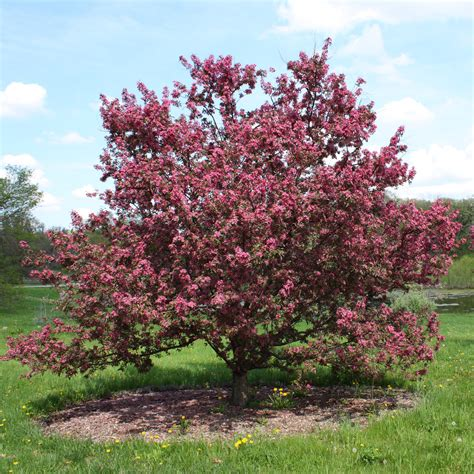 how to grow crabapple growing and caring for flowering