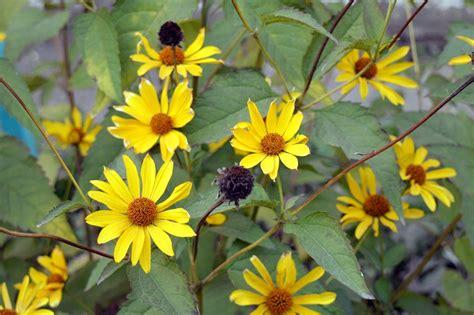 fiori topinambur topinambur coltivazione