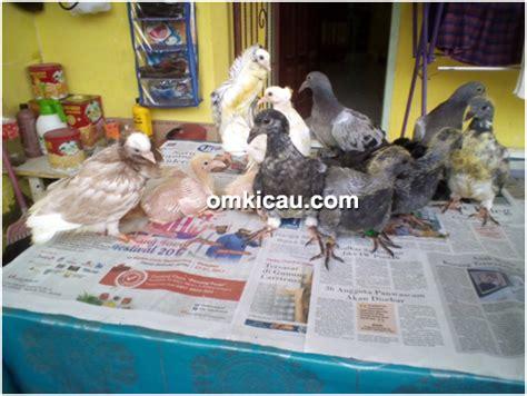Vitamin Apa Saja Untuk Ayam Petelur penangkaran burung merpati hias ghio bird farm jambi
