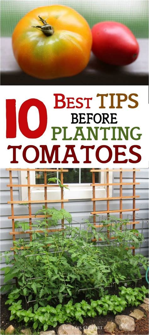 10 best tips before planting tomatoes plants need to and tips