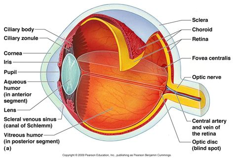 eyeball diagram labeled eye anatomy worksheet human anatomy diagram