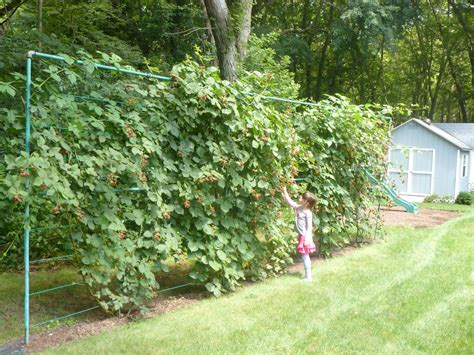 backyard berry plants our yard