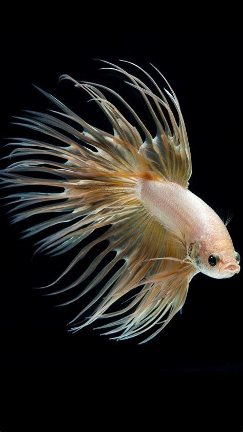 albino betta fish picture    crown tail gold hd
