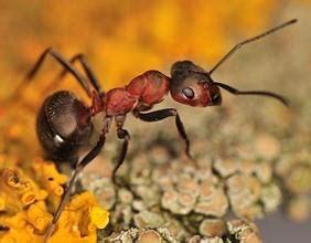 schädlinge im garten bilder ameisen im haus infos zur effektiven ameisenbek 228 mpfung hier