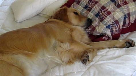 golden retriever bed golden retriever doesn t want to get out of bed