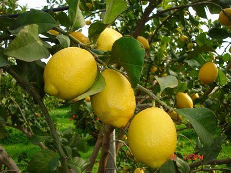 raccolta limoni in vaso limone zagara