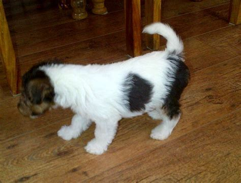 wire fox terrier puppies for sale wire fox terriers for sale newcastle upon tyne tyne and wear pets4homes