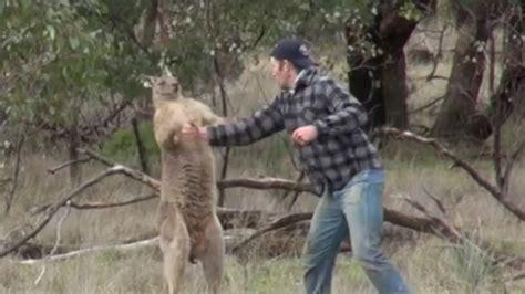 saves from kangaroo punches kangaroo to save from headlock the week uk