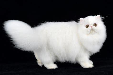 gatti persiani bianchi esposizione internazionale felina un gatto per amico le