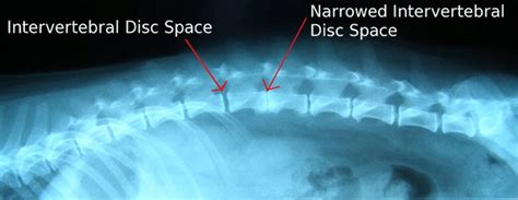 degenerative disc disease in dogs canine spinal injury wheelchairs paralysis info