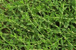 List Of Annual Flowers With Pictures - wildflower knotgrass equal leaved irish wild flora