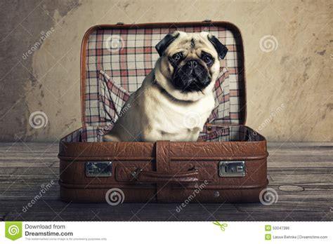 pug suitcase pug in suitcase stock photo image of pack vintage leather 50047386