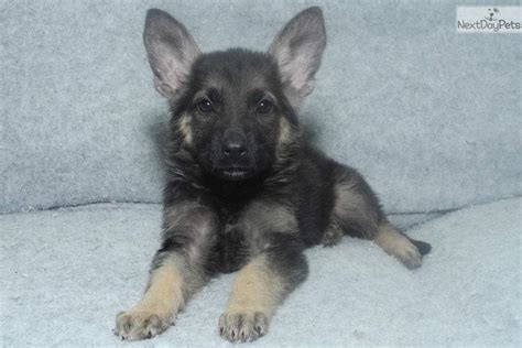 german shepherd puppies for sale in arkansas casey german shepherd puppy for sale near rock arkansas 98d604ea 0431