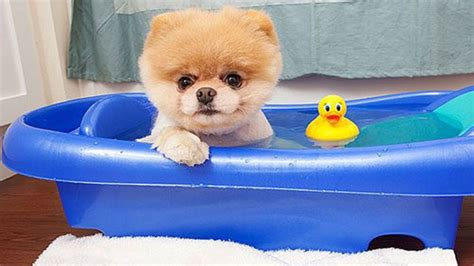 cutest in the world pomeranian cutest in the world 2017 boo pets wallpapers