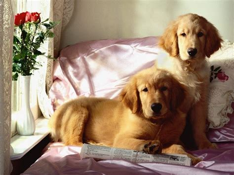 golden retriever owners 12 realities new golden retriever owners must accept