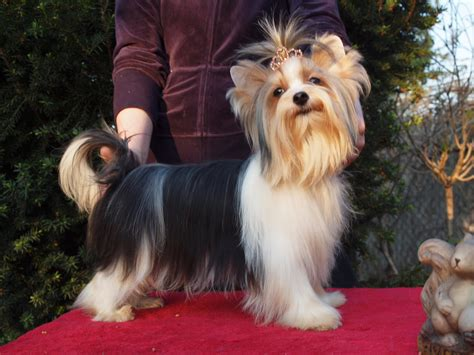 yorkshire terrier with curly hair and more stocky subarashil biewer yorkshire terrier a la pom pon kennel