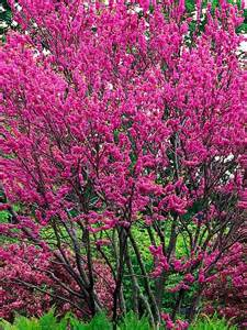 Small Flowering Trees For Small Gardens 17 Best Ideas About Small Trees On Flowering Trees Small Garden Trees And Evergreen