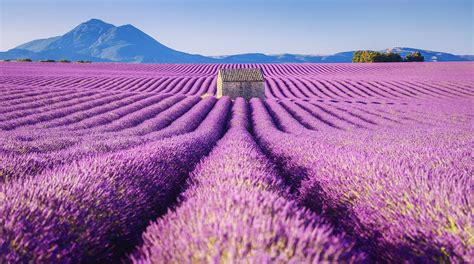 what does the color lavender stunning pictures of lavender fields fubiz media