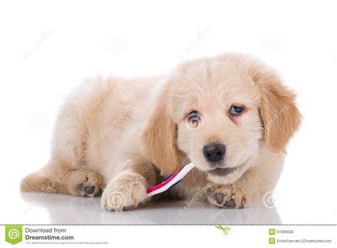 best brush golden retriever brushing teeth clipart 67