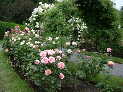 rose garden free stock photo public domain pictures