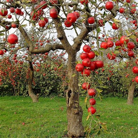 how for an apple tree to produce fruit apple tree quotes quotesgram