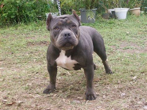 bully puppies for sale in ny blue nose bully puppies puppies puppy