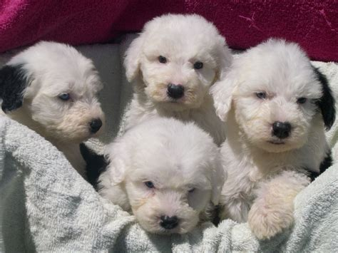sheepdog puppies sheepdog puppies lincoln lincolnshire pets4homes