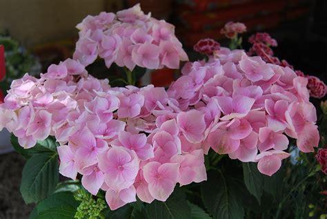 imagenes flores hortensias fotos de flores las flores de la hortensia
