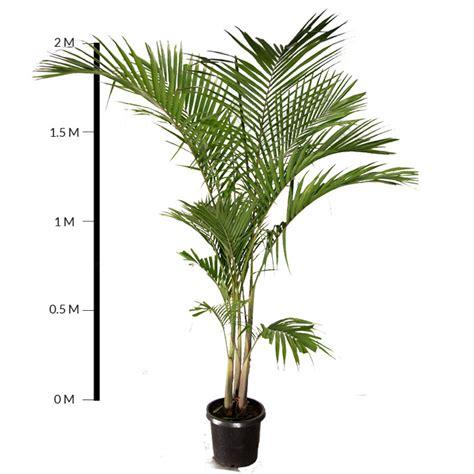 Palm Search Bangalow Palm