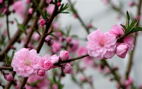 imagenes de flores wallpaper hd flores de color rosa melocot 243 n fondo de pantalla hd 3