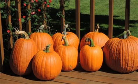 this is pumpkins how to grow pumpkins growing pumpkin seeds planting