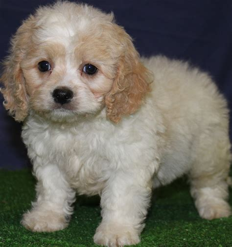 puppy for sale in nj cavapoo puppies for sale new jersey puppies for sale breeders club puppies