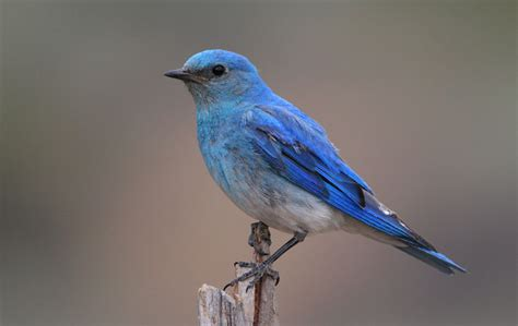 top 28 blue bird facts eastern bluebird facts