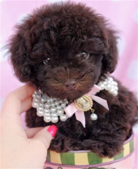 chocolate poodle puppy 17 best images about poodles and teacup poodles on poodles teacup
