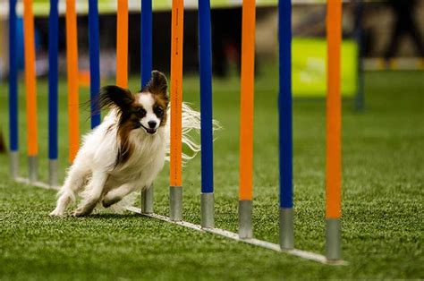 how to start agility for dogs when can i start my puppy for agility photo