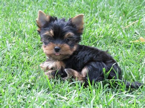 pocket yorkie puppies for sale top miniature pocket clasf