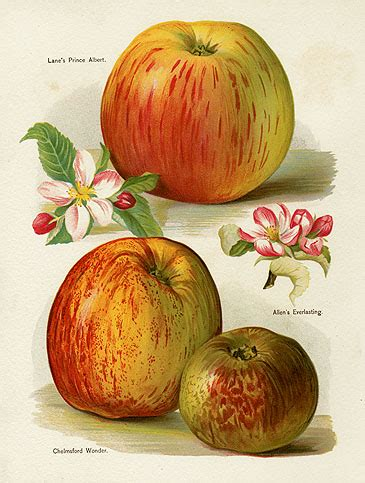 Invicto Ii Cherry White Orange wright fruit grower s guide 1891