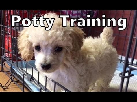 how to potty my fast 1 year poodle clementine small in