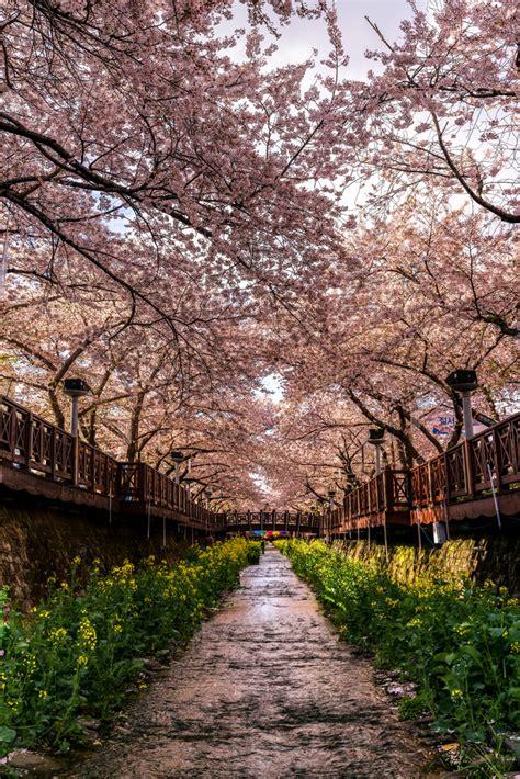 jinhae cherry blossoms  lightorialist